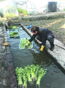图说:菜农采摘完蔬菜后在自家塘中浸洗